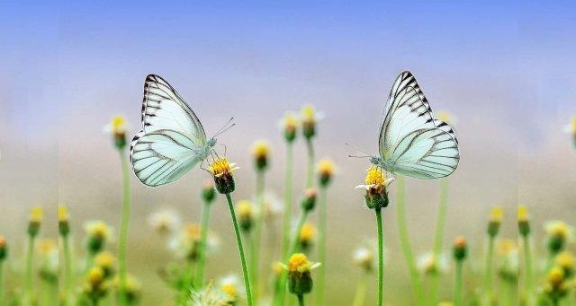 butterflies-wide
