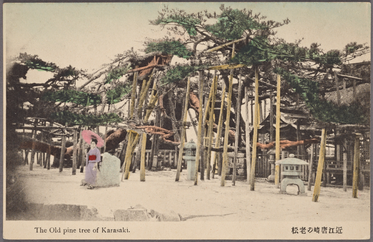 old pine of karasaki